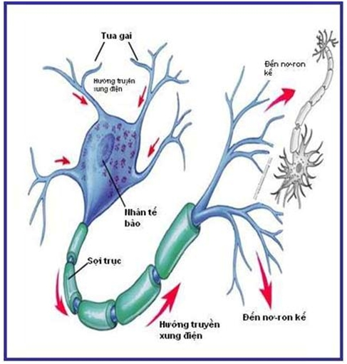 Cấu tạo của một neuron